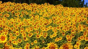 sunflowers-76119_1280